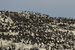 Free Guillemot, Uria Aalge Stock Photography - 36242542