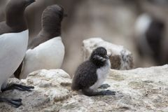 Guillemot Uria aalge chick Royalty Free Stock Images