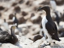 Guillemot Uria aalge Royalty Free Stock Photography