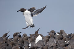 Guillemot, Uria aalge Stock Photography