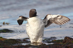 Guillemot (Uria aalge) wing stretching Stock Photos