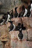 Guillemote Cliffs Stock Images
