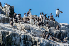 guillemots Obrazy Stock