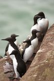 Guillemots At Fowlsheugh Royalty Free Stock Images