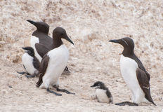 Guillemots and chicks Stock Image