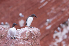 Guillemots on a cliff Stock Photography