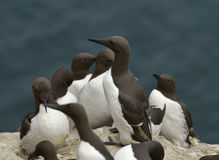 Guillemots or Common Murre Royalty Free Stock Photo