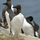 Guillemots or Common Murre Stock Photography