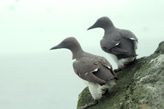 The Guillemots on eaves Stock Image