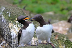 The Guillemots on eaves Royalty Free Stock Photography