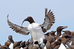 Guillemots, Farne Islands Nature Reserve, England Royalty Free Stock Image