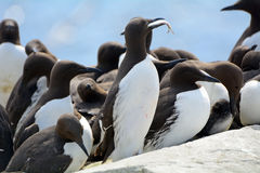 Guillemots, Farne Islands Nature Reserve, England Stock Photo