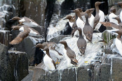 Guillemots, Farne Islands Nature Reserve, England Royalty Free Stock Photo