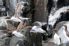 Guillemots, Farne Islands Nature Reserve, England Stock Photography