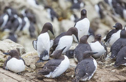 Guillemots at the Farne Islands Stock Image