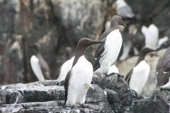 Guillemots Royalty Free Stock Image