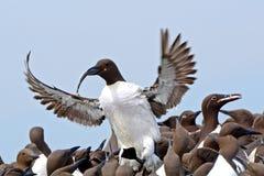 Guillemots, Farne wysp rezerwat przyrody, Anglia Obraz Royalty Free
