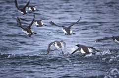 Guillemots flying over Water. High speed shot of Guillemot Seabirds flying across the water Stock Photography