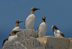 Guillemots gather together. Five Guillemots stand on a rocky cliff top on the Farne Islands in Northumberland England Royalty Free Stock Image