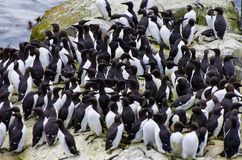 Guillemots. A group of guillemots on the farne islands Royalty Free Stock Image