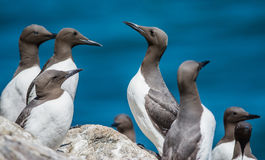Guillemots Royalty Free Stock Photography