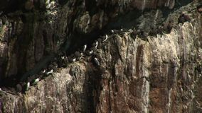 Guillemots and razor bills on a rock ledge England stock video footage