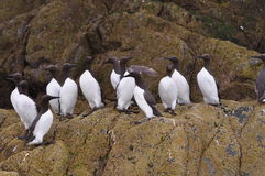 Guillemots sat on a rock Stock Image