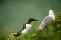 Guillemots Royalty Free Stock Photos