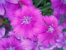 Guillermo dulce floreciente rosado brillante Imagen de archivo