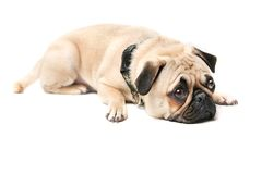 Guilt. Pug lying on floor and isolated on white Royalty Free Stock Photo