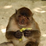 Guilt. A monkey holding a dead lizard with a look saying It wasn't me Stock Photography
