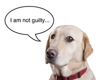 Guilty Dog. A Labrador dog with a speech bubble isolated on white Royalty Free Stock Photo