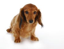 Guilty dog. Guilty looking dog - long haired miniature dachshund on white background Royalty Free Stock Photos