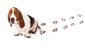 Guilty Dog With Muddy Paws. Dog with guilty expression and muddy paws tracks dirt on white floor Royalty Free Stock Photo