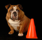 Guilty english bulldog. Red brindle english bulldog sitting beside orange pylon with guilty expression Stock Photo