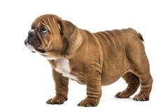 Guilty english bulldog puppy,  Stock Photos