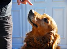 Guilty golden retriever dog portrait Royalty Free Stock Photography