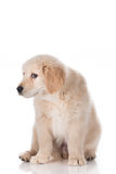 Guilty Golden Retriever puppy isolated on white background Stock Images