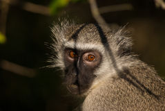 Guilty look. Wild vervet monkey with a guilty face in African savannah Royalty Free Stock Photos
