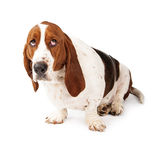 Guilty Looking Basset Hound. Basset Hound dog looking up with a guilty expression Royalty Free Stock Images
