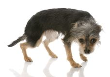 Guilty looking dog. Yorkshire terrier mixed breed standing with guilty looking expression stock photo