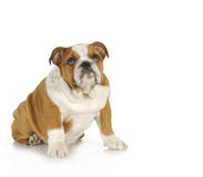 Guilty looking dog. Guilty looking puppy - english bulldog puppy looking up with guilty expression Royalty Free Stock Photo