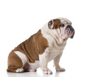Guilty looking dog Royalty Free Stock Photography