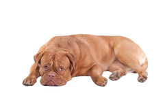 Guilty looking Dog is resting on the floor Royalty Free Stock Images