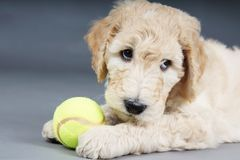 Guilty looking puppy. Puppy goldendoodle looking guilty with tennis ball stock photos