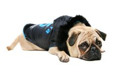 Guilty Pug. Male Pug wearing winter coat lying down with guilty look on his face Royalty Free Stock Photos