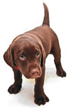 Guilty puppy dog Royalty Free Stock Photography