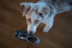 Guilty puppy with stolen shoe Stock Photography
