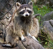 Guilty Raccoon. Closeup photograph of a raccoon looking quite puzzled and guilty Stock Photos