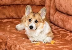 Guilty red dog puppy Corgi lies on the couch and tore and took out the foam rubber from the furniture. Cute guilty red dog puppy Corgi lies on the couch and tore royalty free stock image
